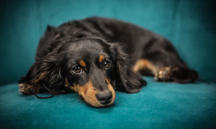 Black and brown dachshund dog lies on a teal couch unwilling to get its teeth brushed